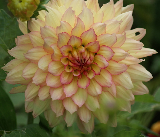 Dahlia ....name unknown (Dahlia Pinnata)