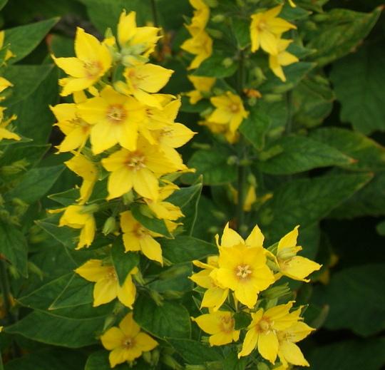 Loosethrift (Lysimachia Punctata)