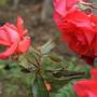 "Rose ""Love Surprise"" (Rose (Floribunda))"