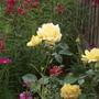 "Rose ""Spring Sunshine"" (Rose (Floribunda))"