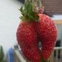 18th July '10...Strange shaped Strawberry....:>)
