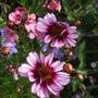 Coreopsis_rosea_heaven_s_gate_