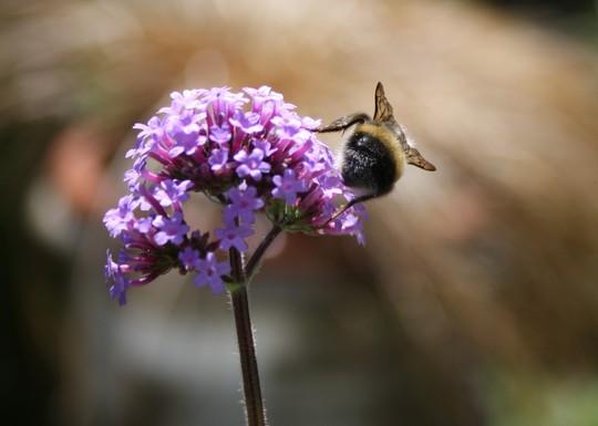 Uncooperative bee....