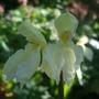 Roscoea cautleyoides (Roscoea cautleyoides (Roscoea))