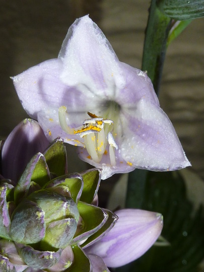 Flower of the HOSTA Minuteman....