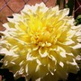 A Kevin Floodlight Dahlia (Dahlia)
