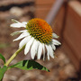 A garden flower photo (Echinacea purpurea (Coneflower))