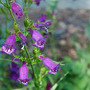 A garden flower photo (penstemon x mexicali)