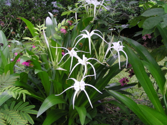 spider lillies (Hymenocallis caroliniana)