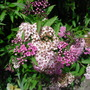 Spirea japonica ' Shirobana ' (Spiraea japonica)