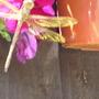Dragonfly on Petunia