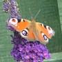 Butterfly_010
