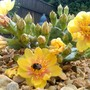 Prickly Pear (Opuntia compressa (Eastern Prickly Pear))