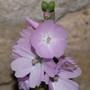 """Sidalcea """"Elsie Heugh"""" (Sidalcea malviflora (Checkerbloom))"""