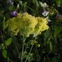 Thalictrum_flavum_ssp_glaucum
