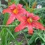Day_lily_004