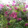 Rosa Dorothy Perkins with mystery Clematis viticella.jpg  (Rosa 'Dorothy Perkins')