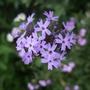 Verbena corymbosa (Verbena corymbosa)