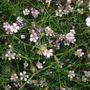 Petrorhagia (tunic flower) (Petrorhagia saxifraga (Baby Breath))