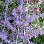 Perovskia  'Blue Spire' (Perovskia atriplicifolia 'Blue Spire')
