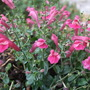 Scutellaria_texas_rose_