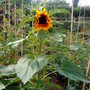 Allotment_sunflowers_16th_july_2010_002