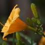 stella dora daylily
