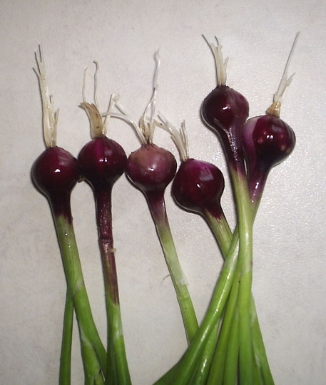 "Salad/Spring Onion ""Redbeard"""