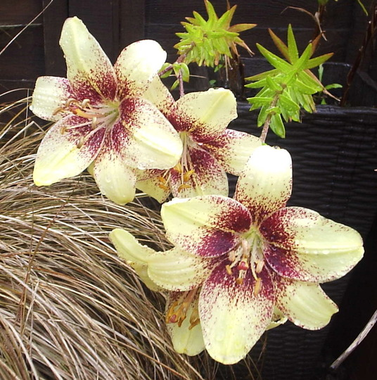 """Asiatic lily """"Cappuccino"""""""