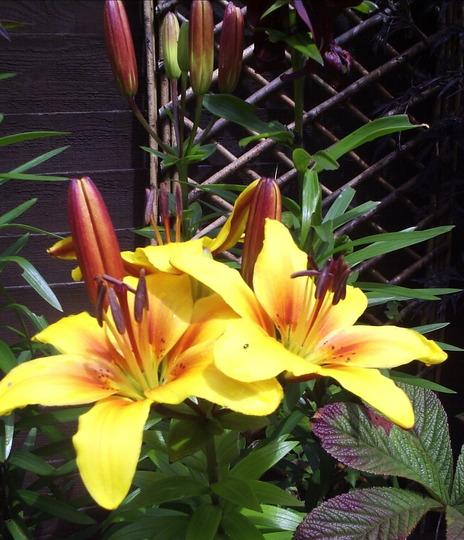 "Asiatic Lily ""Golden Joy"""