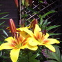 "Asiatic Lily ""Golden Joy"""