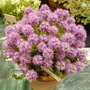 Thymus ciliceus