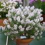 Thymus Peter Davies
