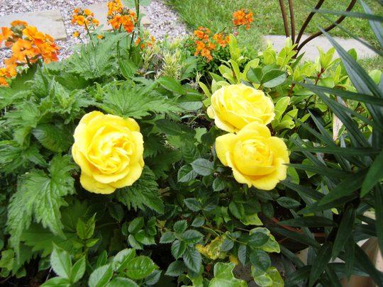 yellow patio rose