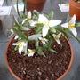 Trillium ozarkianum