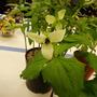 Trillium erectum blandum