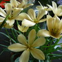 Tulipa batalinii Regal Charm
