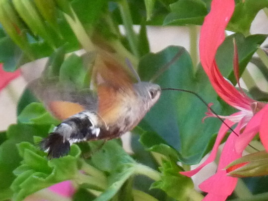 Hummingbird Hawk moth   (from blog)