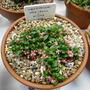 Vaccinium vitis idaea v minus.