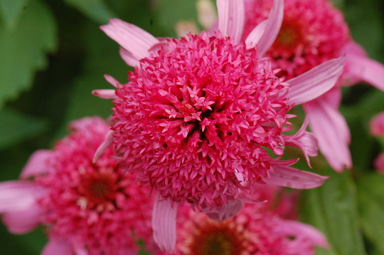 Echinacea 'Pink Double Delight' (Echinacea)