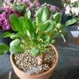 Valeriana macrorhizaF_W9687