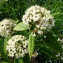 Viburnum buddlifolium