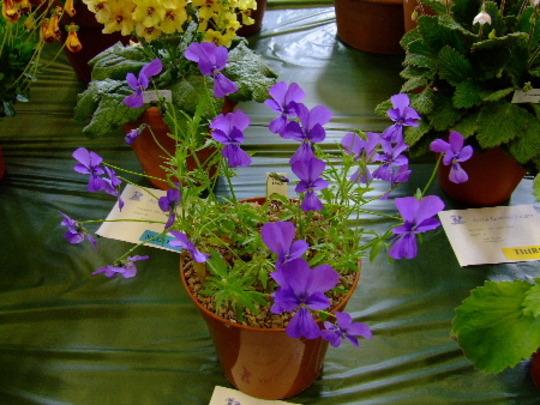 Viola altaica