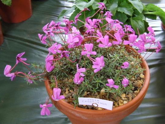 Viola cazolensis