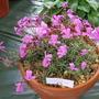 Violacazolensis
