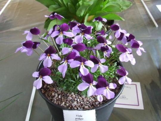 Viola pedata bicolor