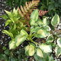 "Dryopteris Erythrosora and Hosta ""Great Expectations"""