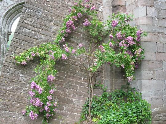 Climbing rose @ Llanthony Priory