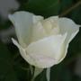 White Rose  (Rosa)