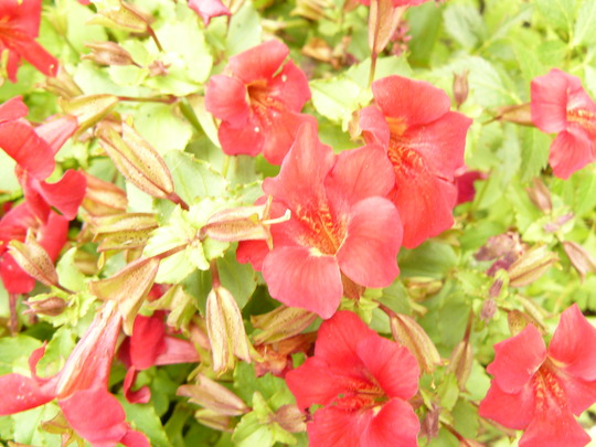 Mimulas Flower Highland red (Mimulus aurantiacus (Bush Monkeyflower))